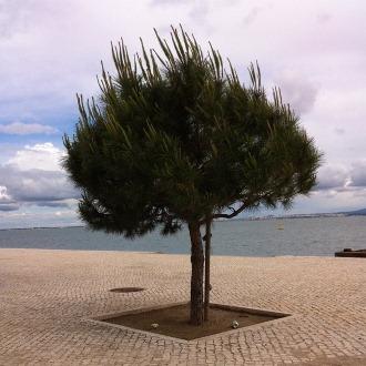 Portugal träd